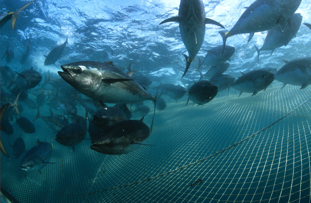 An underwater photo of Southern Bluefin Tuna swimming above a fish farm net. <div class='credit'><strong>Credit:</strong> An underwater photo of Southern Bluefin Tuna swimming above a fish farm net. </div>