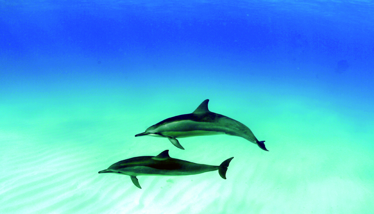 spinner dolphins in Hawaii<div class='credit'><strong>Credit:</strong> spinner dolphins in Hawaii</div>