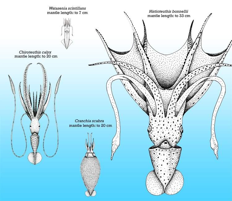 This squid diagram shows that squids come in a wide range of sizes, from smaller-than-your-thumb to the enormous giant squid.<div class='credit'><strong>Credit:</strong> This squid diagram shows that squids come in a wide range of sizes, from smaller-than-your-thumb to the enormous giant squid.</div>