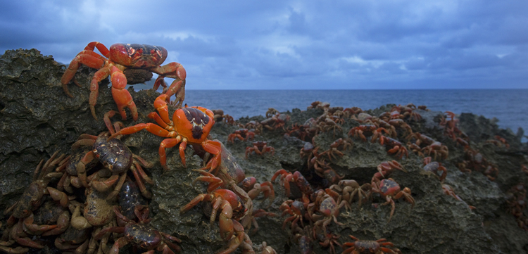 Red Crab Migration, Christmas Island, Indian Ocean <div class='credit'><strong>Credit:</strong> Red Crab Migration, Christmas Island, Indian Ocean </div>