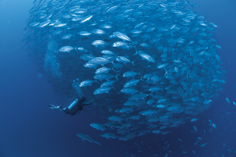 An underwater photo of a school of jacks and a scuba diver<div class='credit'><strong>Credit:</strong> An underwater photo of a school of jacks and a scuba diver</div>