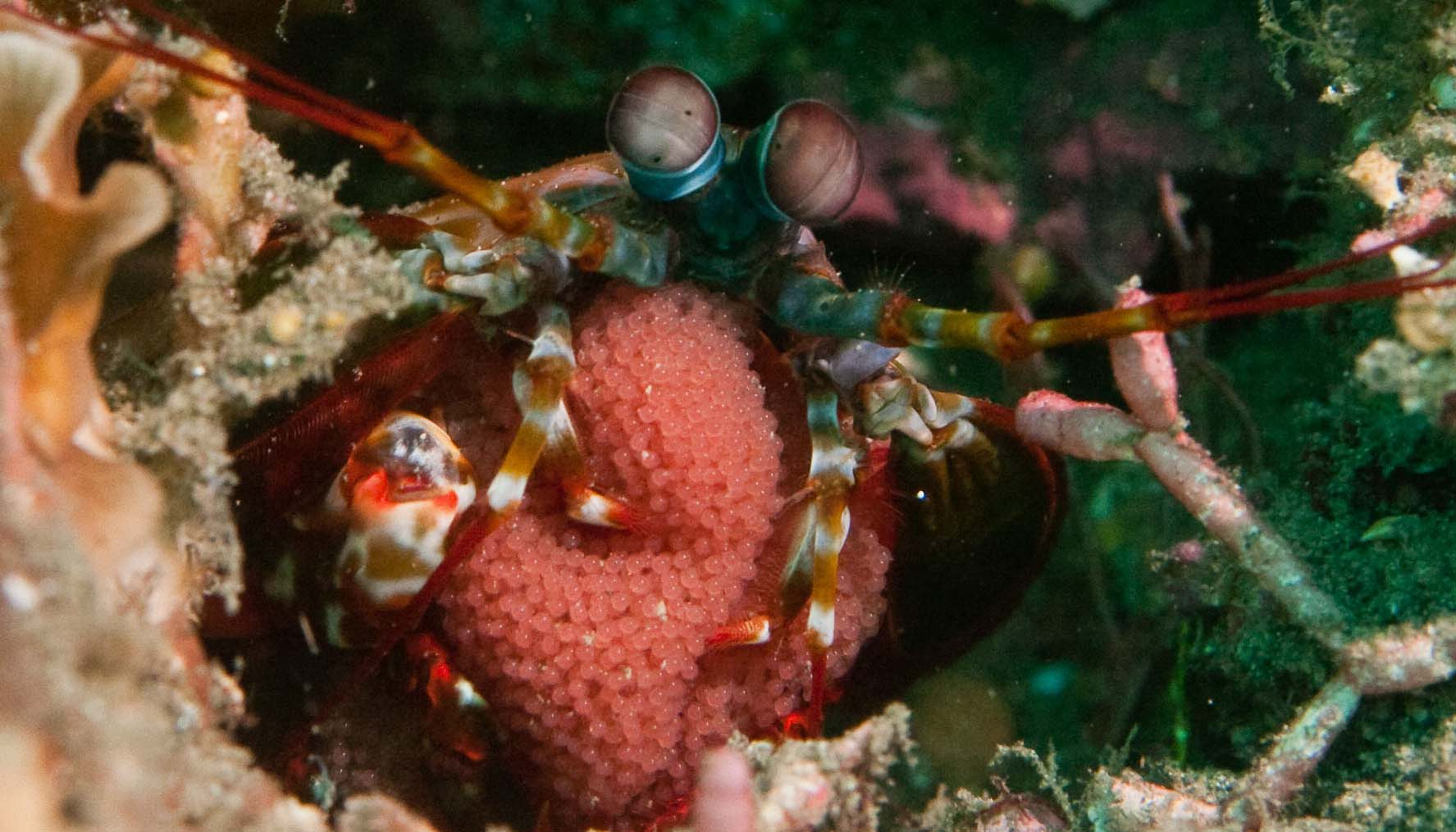 Photo of a mantis shrimp<div class='credit'><strong>Credit:</strong> Photo of a mantis shrimp</div>