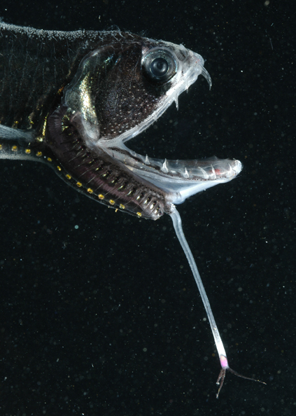 The long barbel on the chin of this dragonfish has a glowing tip that may attract prey.<div class='credit'><strong>Credit:</strong> The long barbel on the chin of this dragonfish has a glowing tip that may attract prey.</div>