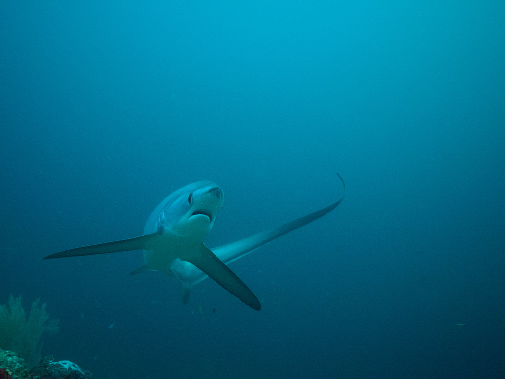 A thresher shark uses its unusual tail fin for swimming and hunting. <div class='credit'><strong>Credit:</strong> A thresher shark uses its unusual tail fin for swimming and hunting. </div>