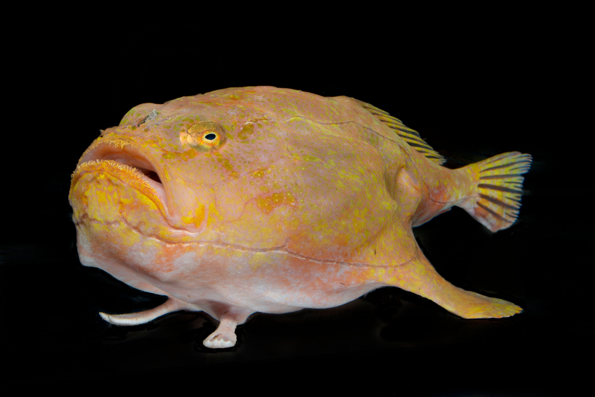 A sea toad from the deep waters off of Curacao.<div class='credit'><strong>Credit:</strong> A sea toad from the deep waters off of Curacao.</div>