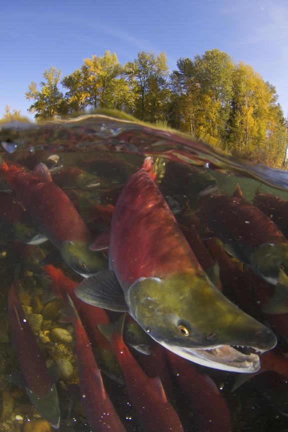 Photo of sockeye salmon spawning.<div class='credit'><strong>Credit:</strong> Photo of sockeye salmon spawning.</div>