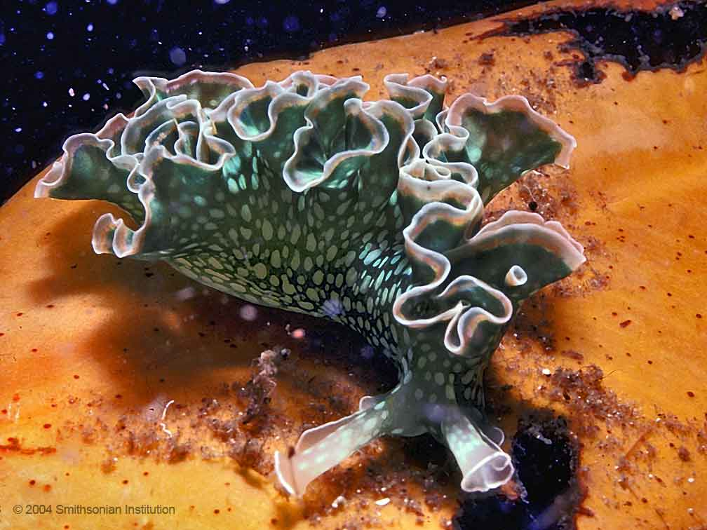 Photograph of a green sea slug, with white polka-dot-like markings and white-edged ruffly structures along the length of its back.<div class='credit'><strong>Credit:</strong> Photograph of a green sea slug, with white polka-dot-like markings and white-edged ruffly structures along the length of its back.</div>