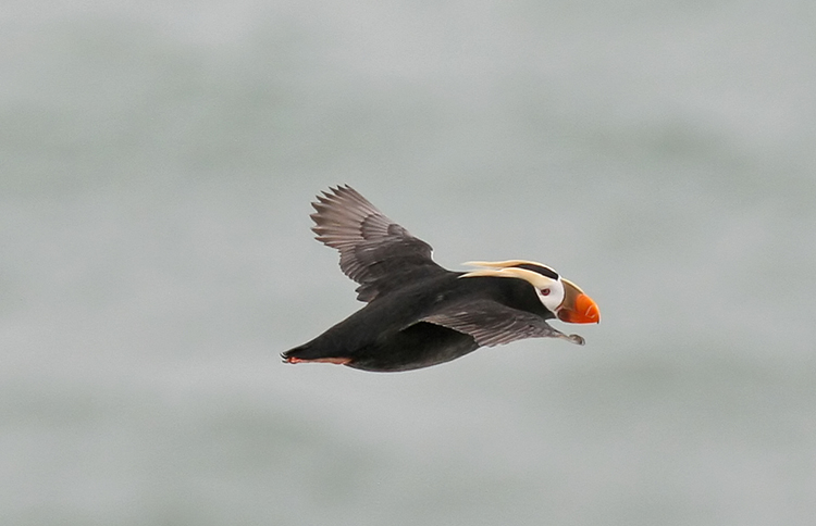 Puffin in Flight, Pribilof Islands Alaska<div class='credit'><strong>Credit:</strong> Puffin in Flight, Pribilof Islands Alaska</div>