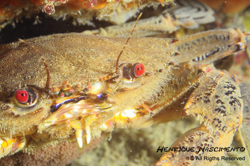 The velvet crab's aggressive nature has earned it the nickname devil's crab.<div class='credit'><strong>Credit:</strong> The velvet crab's aggressive nature has earned it the nickname devil's crab.</div>