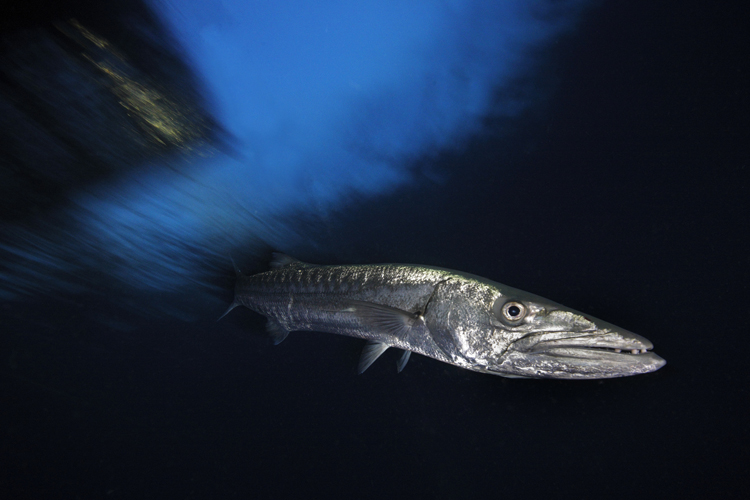 Great Barracuda, Witu Islands, Papua New Guinea <div class='credit'><strong>Credit:</strong> Great Barracuda, Witu Islands, Papua New Guinea </div>