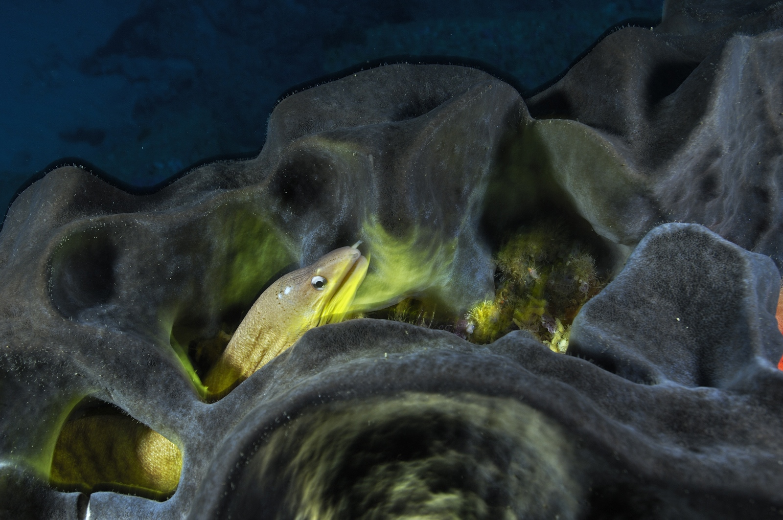 A yellow moray eel inside of a sea sponge in the waters off of Poor Knights Islands, New Zealand<div class='credit'><strong>Credit:</strong> A yellow moray eel inside of a sea sponge in the waters off of Poor Knights Islands, New Zealand</div>