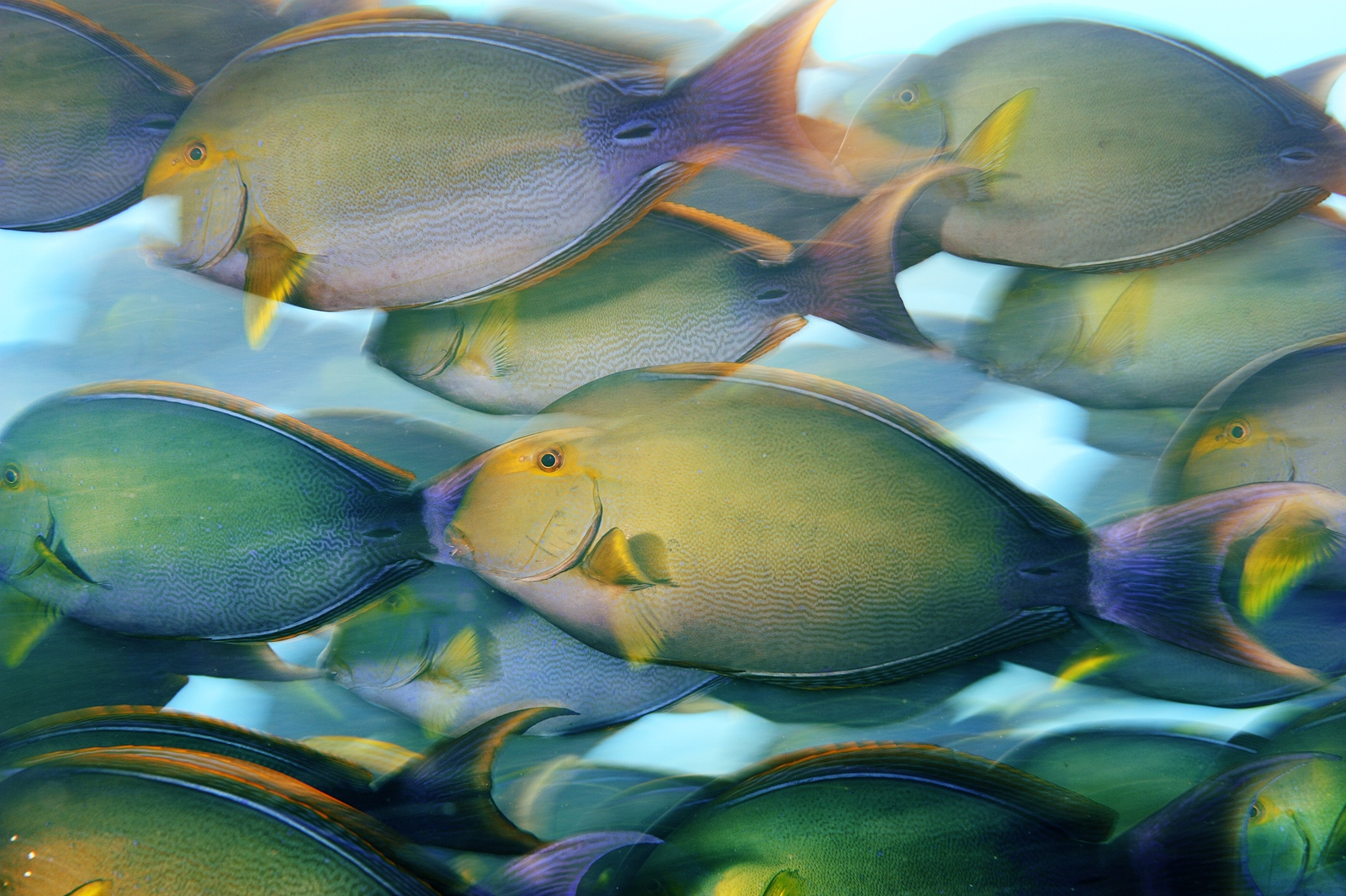 A school of yellowfin surgeonfish feed near dusk off Canton Island in the Phoenix Islands.<div class='credit'><strong>Credit:</strong> A school of yellowfin surgeonfish feed near dusk off Canton Island in the Phoenix Islands.</div>