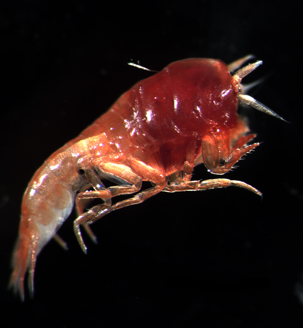 Lanceola clausi is a rare deep-water organism.<div class='credit'><strong>Credit:</strong> Lanceola clausi is a rare deep-water organism.</div>