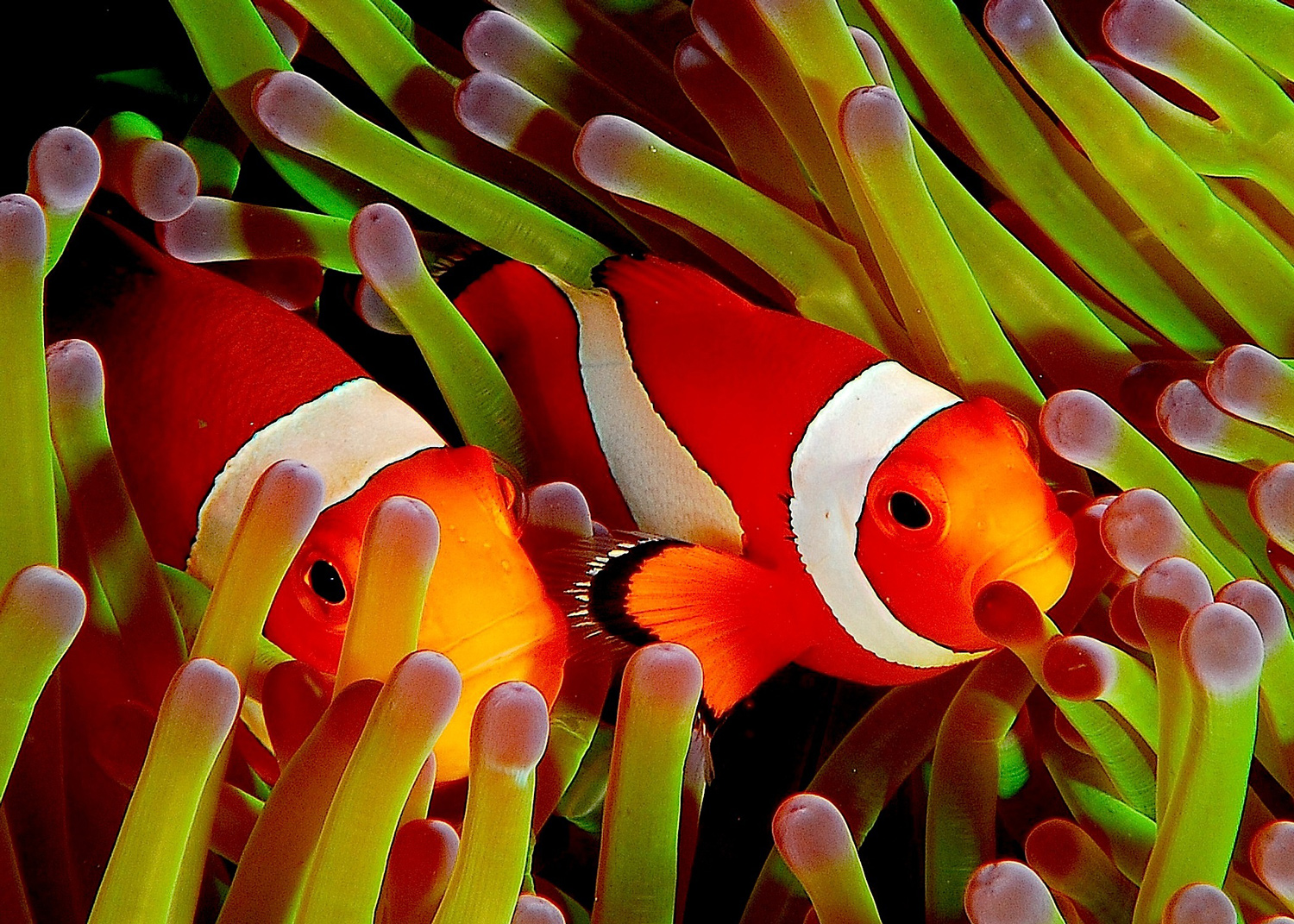 Two bright orange anemonefish poke their heads between anemone tentacles.<div class='credit'><strong>Credit:</strong> Two bright orange anemonefish poke their heads between anemone tentacles.</div>