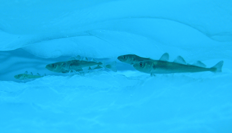 Arctic cod have a special protein that warms their blood.<div class='credit'><strong>Credit:</strong> Arctic cod have a special protein that warms their blood.</div>