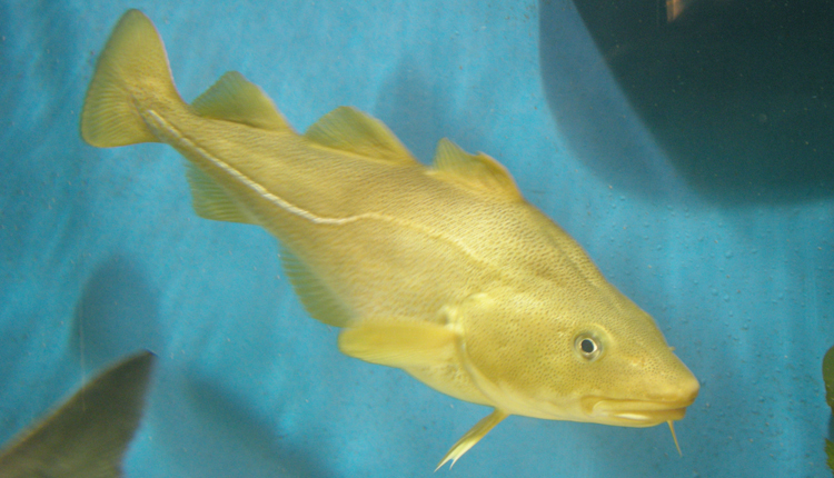Photograph of a bright yellow fish.<div class='credit'><strong>Credit:</strong> Photograph of a bright yellow fish.</div>