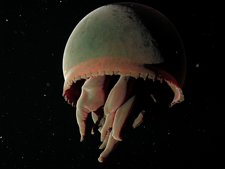 Big Red Deep Sea Jellyfish<div class='credit'><strong>Credit:</strong> Big Red Deep Sea Jellyfish</div>