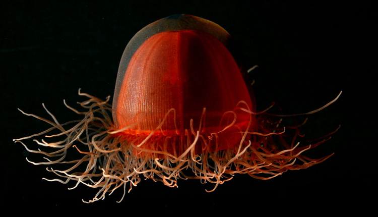 A deep red jellyfish, Crossota norvegica, floats in the water.<div class='credit'><strong>Credit:</strong> A deep red jellyfish, Crossota norvegica, floats in the water.</div>