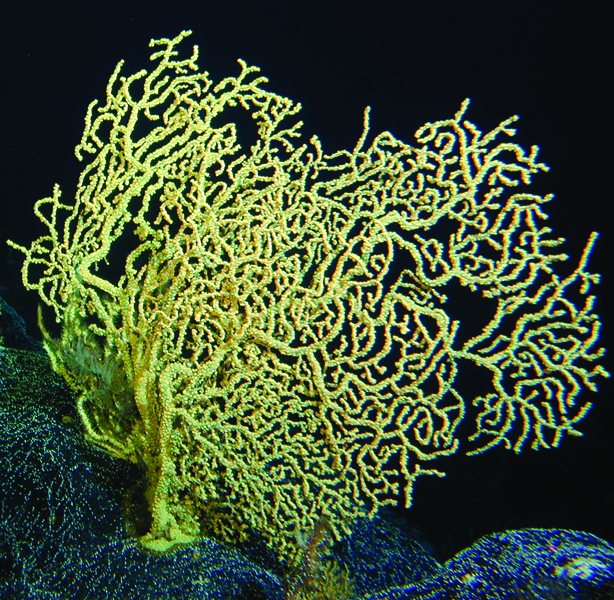 This black coral is more than 4,200 years old. Named for the color of their skeletons, black corals come in many colors.<div class='credit'><strong>Credit:</strong> This black coral is more than 4,200 years old. Named for the color of their skeletons, black corals come in many colors.</div>