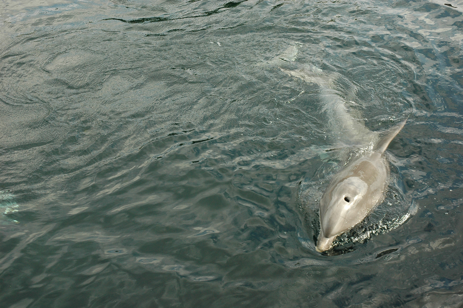 A common bottlenose dolphin swimming. <div class='credit'><strong>Credit:</strong> A common bottlenose dolphin swimming. </div>