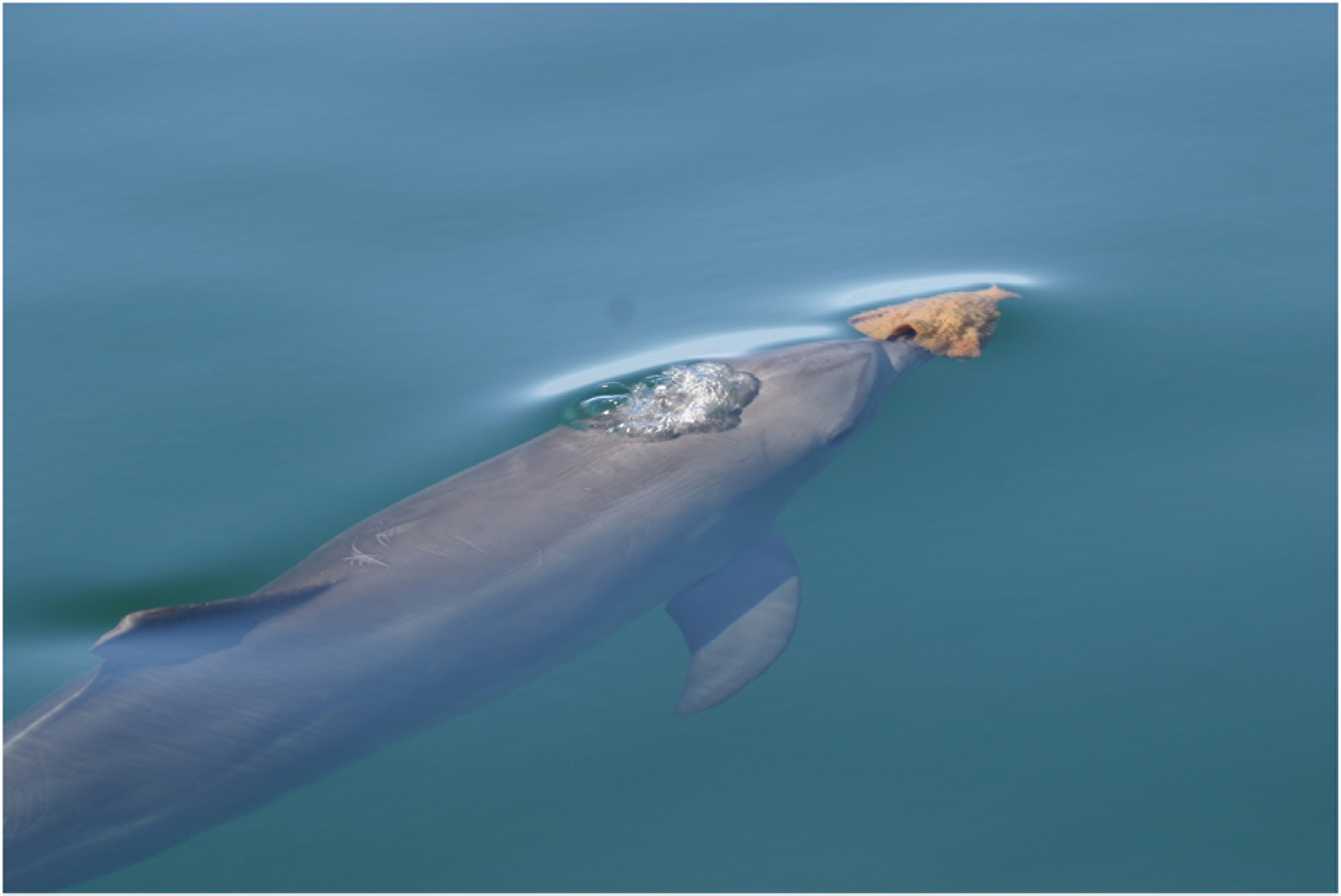 A bottlenose dolphin carries a sponge, which it uses as a tool to dig up prey from the seafloor.<div class='credit'><strong>Credit:</strong> A bottlenose dolphin carries a sponge, which it uses as a tool to dig up prey from the seafloor.</div>