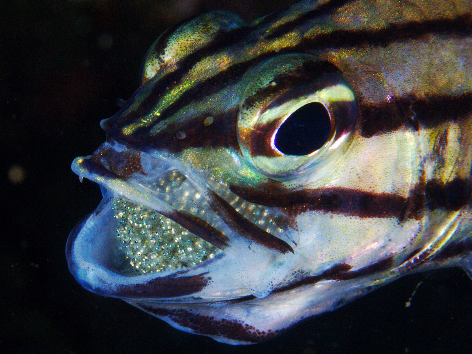 Cardinalfish dads protect their eggs by gingerly carrying them in their mouths.<div class='credit'><strong>Credit:</strong> Cardinalfish dads protect their eggs by gingerly carrying them in their mouths.</div>
