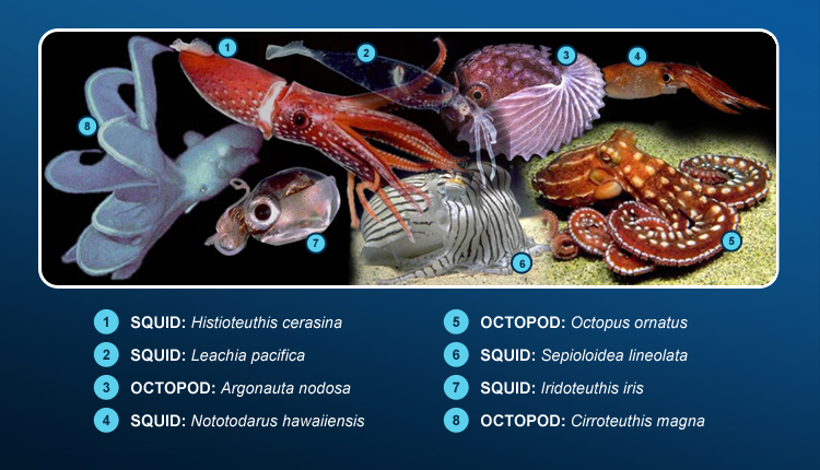 Pacific cephalopods illustrate the wide diversity among this group of mollusks.<div class='credit'><strong>Credit:</strong> Pacific cephalopods illustrate the wide diversity among this group of mollusks.</div>