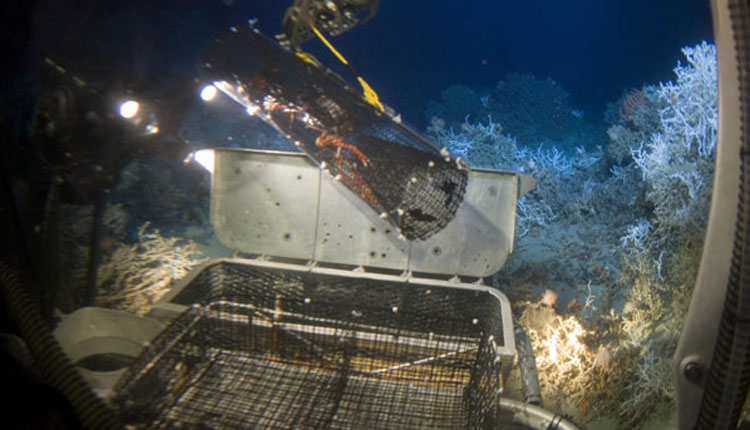 A robotic arm on the Johnson-Sea-Link submersible retrieves Galatheid crabs for research. In the background is a species of the deep-sea coral Lophelia.<div class='credit'><strong>Credit:</strong> A robotic arm on the Johnson-Sea-Link submersible retrieves Galatheid crabs for research. In the background is a species of the deep-sea coral Lophelia.</div>