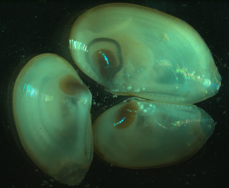 Bivalves brought up from the deep Arctic seafloor. <div class='credit'><strong>Credit:</strong> Bivalves brought up from the deep Arctic seafloor. </div>
