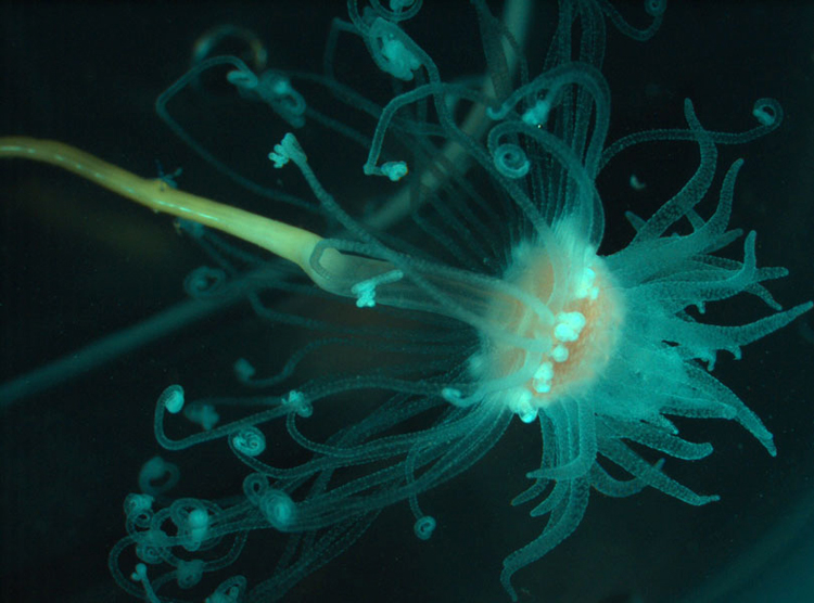 A cnidarian brought up from the seafloor<div class='credit'><strong>Credit:</strong> A cnidarian brought up from the seafloor</div>