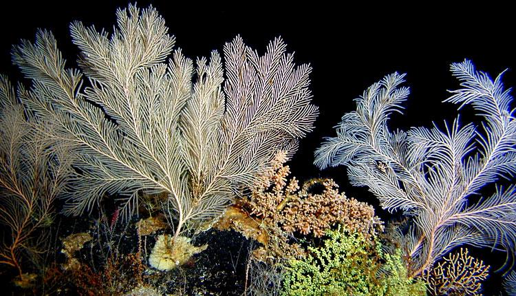 diversity of deepsea corals smithsonian ocean portal