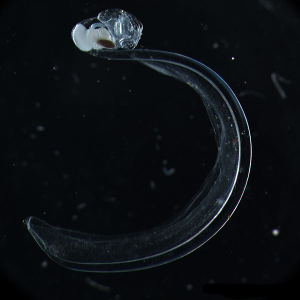 Oikopleura gorskyi is a rare deep-water species of larvacean<div class='credit'><strong>Credit:</strong> Oikopleura gorskyi is a rare deep-water species of larvacean</div>