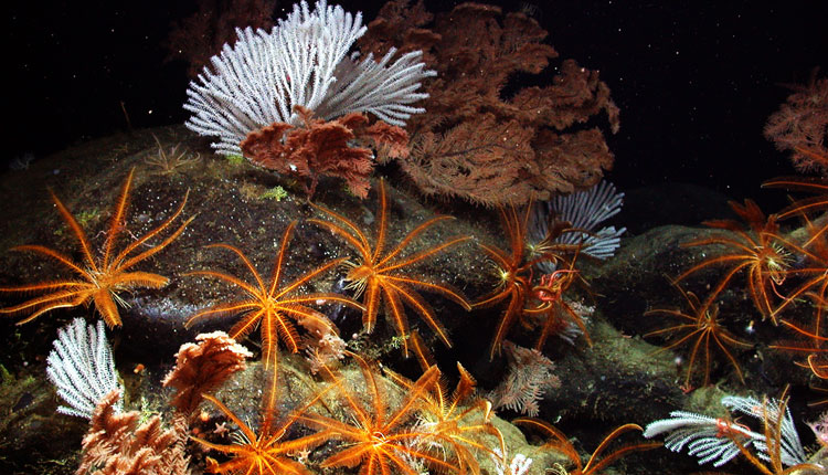 Black coral, primnoid coral, and feather stars flourish deep on the pristine Davidson Seamount. <div class='credit'><strong>Credit:</strong> Black coral, primnoid coral, and feather stars flourish deep on the pristine Davidson Seamount. </div>