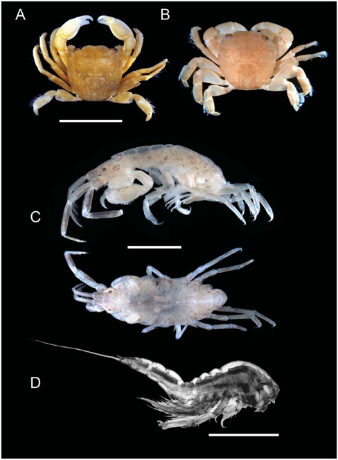 A composite photograph of three of the crustaceans found living on olive ridley and green turtles in the Pacific. <div class='credit'><strong>Credit:</strong> A composite photograph of three of the crustaceans found living on olive ridley and green turtles in the Pacific. </div>