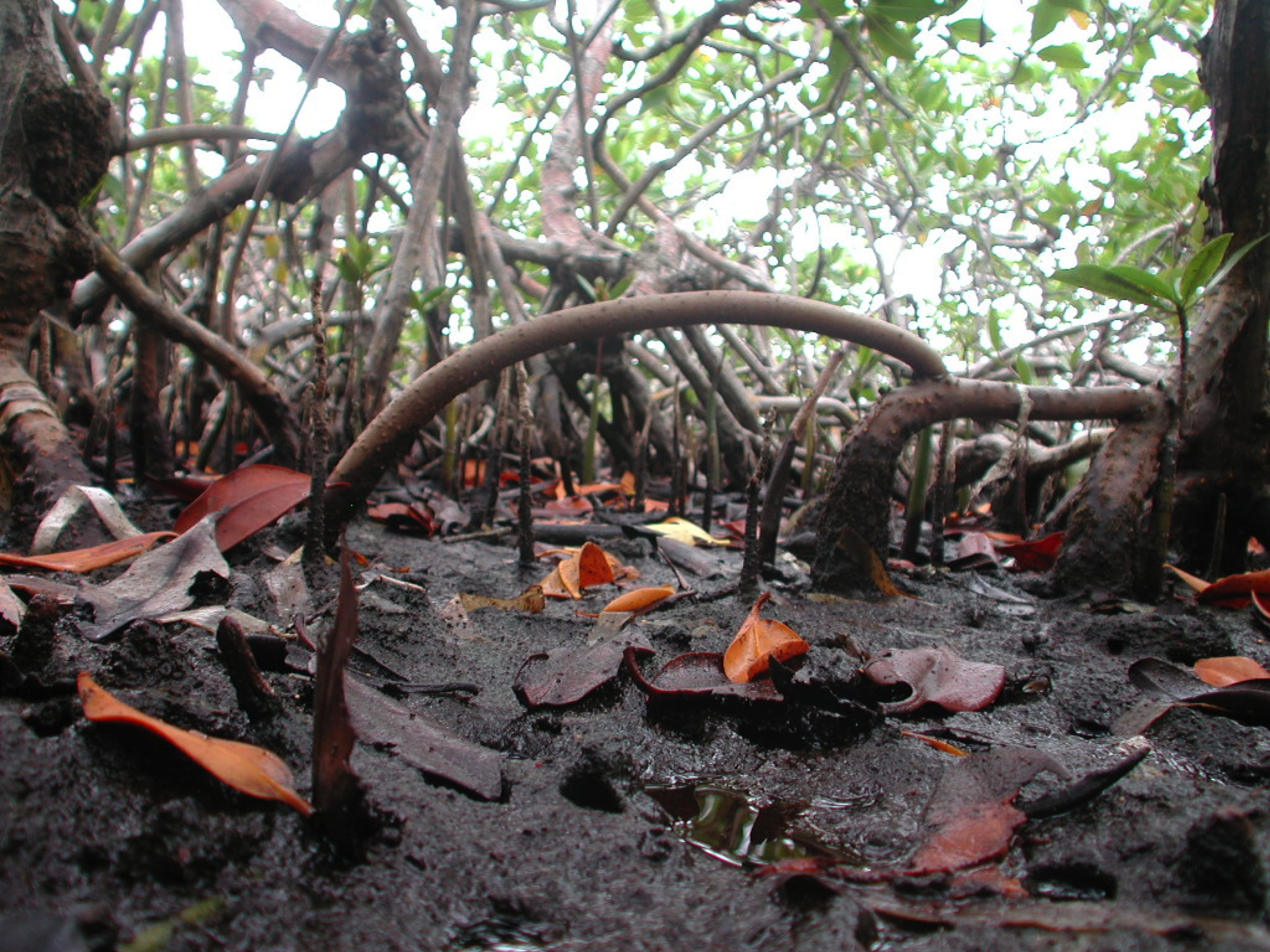 Mangrove roots help to build the peat underlying mangrove islands and protect against erosion.<div class='credit'><strong>Credit:</strong> Mangrove roots help to build the peat underlying mangrove islands and protect against erosion.</div>