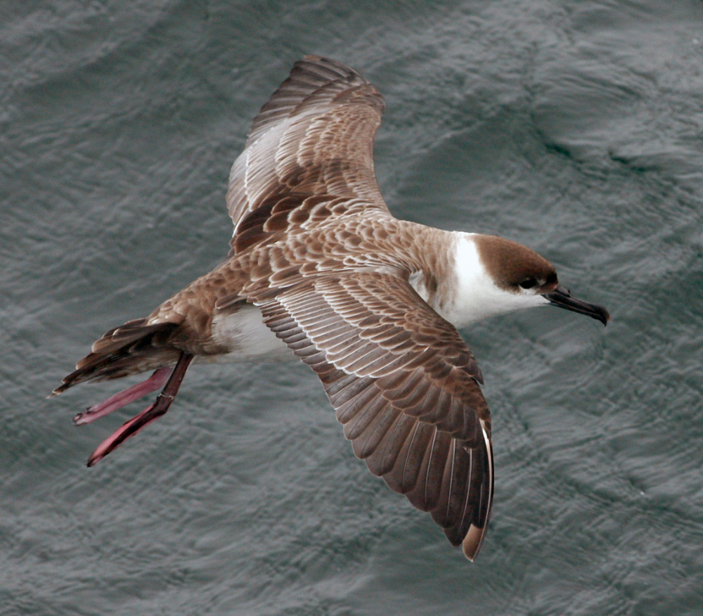 Great Shearwater in Flight<div class='credit'><strong>Credit:</strong> Great Shearwater in Flight</div>