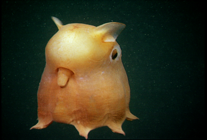 "The ""Dumbo Octopod"" swims by moving its fins, pulsing its webbed arms, or pushing water through its funnel for jet propulsion.<div class='credit'><strong>Credit:</strong> The ""Dumbo Octopod"" swims by moving its fins, pulsing its webbed arms, or pushing water through its funnel for jet propulsion.</div>"