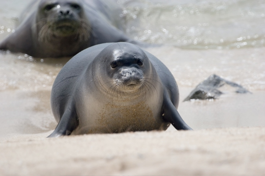 Hawaiian monk seal comes ashore<div class='credit'><strong>Credit:</strong> Hawaiian monk seal comes ashore</div>