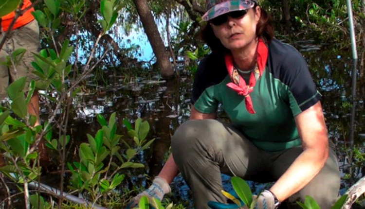 Dr. Karen L. McKee collects a peat core in a mangrove forest in Belize.<div class='credit'><strong>Credit:</strong> Dr. Karen L. McKee collects a peat core in a mangrove forest in Belize.</div>