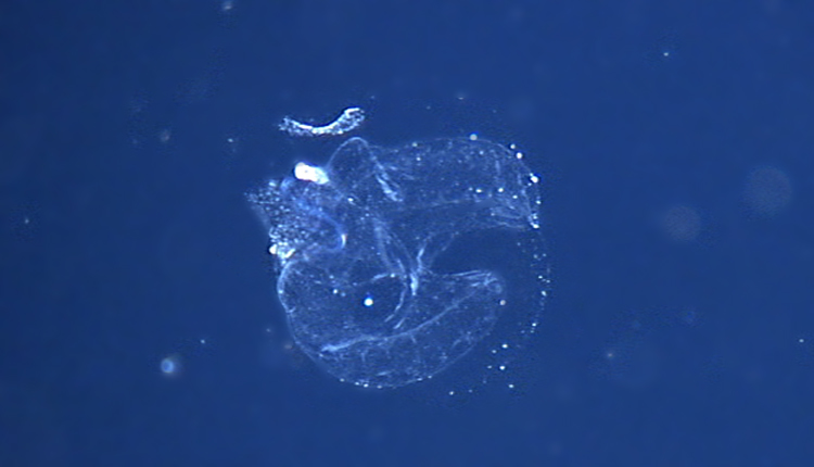 "A deep-water larvacean (aka ""sea tadpole"") inside its home.<div class='credit'><strong>Credit:</strong> A deep-water larvacean (aka ""sea tadpole"") inside its home.</div>"