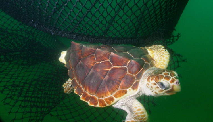 A Turtle Excluder Device (TED) enables a loggerhead turtle to escape from a net.<div class='credit'><strong>Credit:</strong> A Turtle Excluder Device (TED) enables a loggerhead turtle to escape from a net.</div>