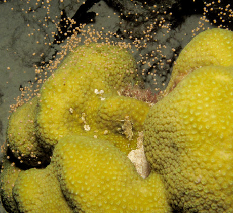 Coral Spawning by Moonlight<div class='credit'><strong>Credit:</strong> Coral Spawning by Moonlight</div>
