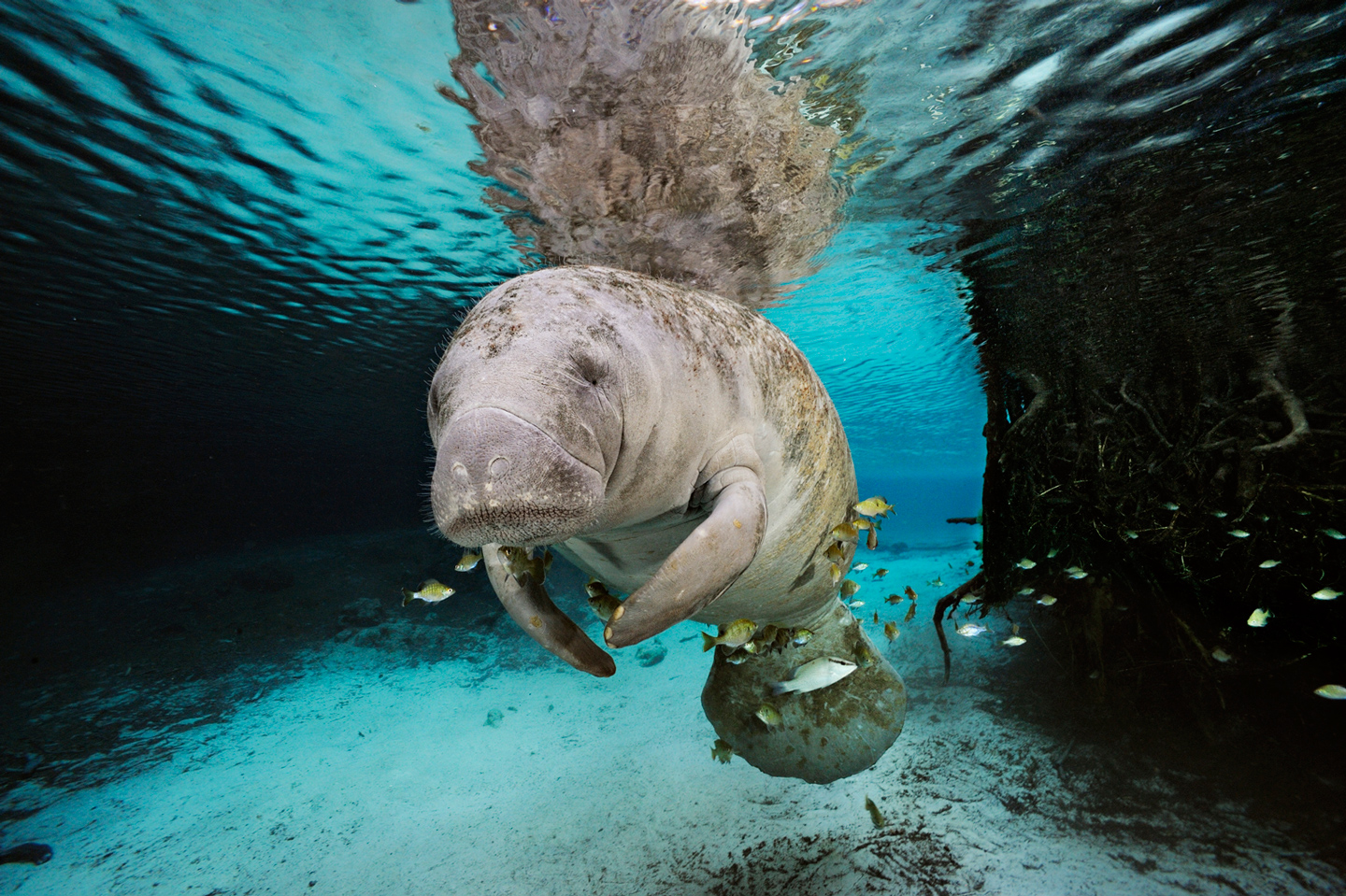 A Florida manatee surrounded by fish and tree roots swims in a fresh water spring. <div class='credit'><strong>Credit:</strong> A Florida manatee surrounded by fish and tree roots swims in a fresh water spring. </div>