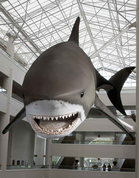 Photograph of the model of a Giant Megatooth Shark, taken from the front..<div class='credit'><strong>Credit:</strong> Photograph of the model of a Giant Megatooth Shark, taken from the front..</div>