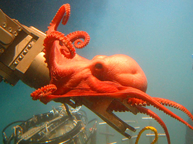 A deep-sea octopod wraps itself around a submersible's robotic arm in the Gulf of Mexico.<div class='credit'><strong>Credit:</strong> A deep-sea octopod wraps itself around a submersible's robotic arm in the Gulf of Mexico.</div>