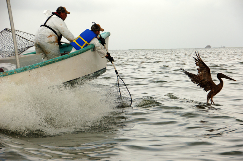 Researchers on a boat try to to catch an oiled pelican in the Gulf of Mexico off the Louisiana coast.<div class='credit'><strong>Credit:</strong> Researchers on a boat try to to catch an oiled pelican in the Gulf of Mexico off the Louisiana coast.</div>