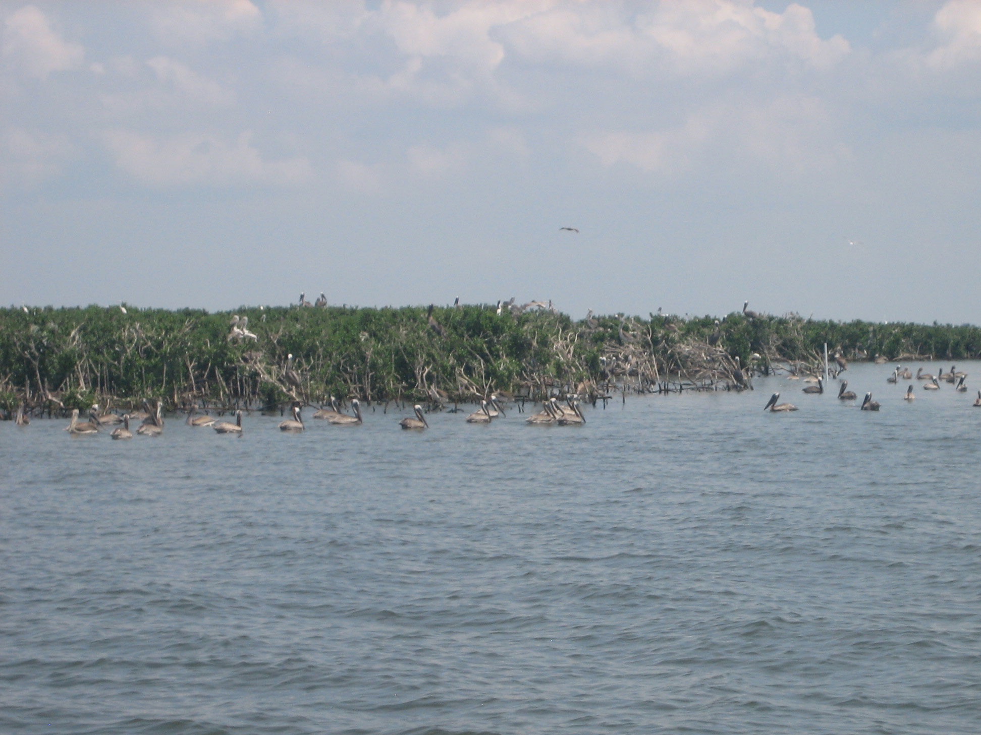 "Pelicans Roost at oil spill ""ground zero"" two years later.<div class='credit'><strong>Credit:</strong> Pelicans Roost at oil spill ""ground zero"" two years later.</div>"