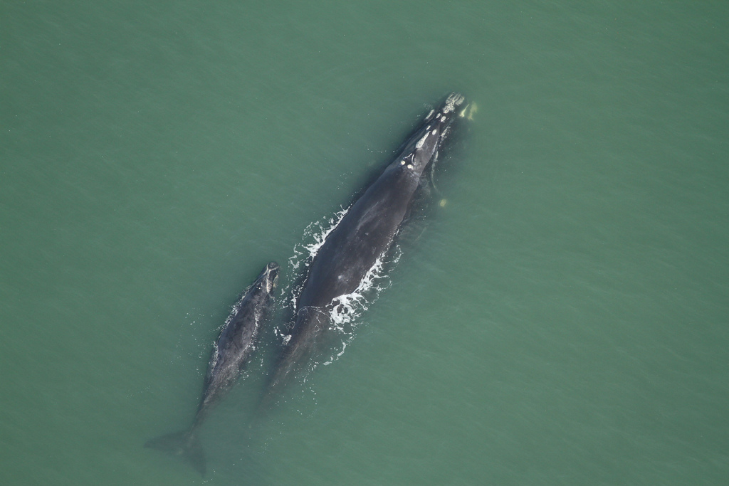 The right whale Phoenix, and her calf, swimming off the coast of Florida. <div class='credit'><strong>Credit:</strong> The right whale Phoenix, and her calf, swimming off the coast of Florida. </div>