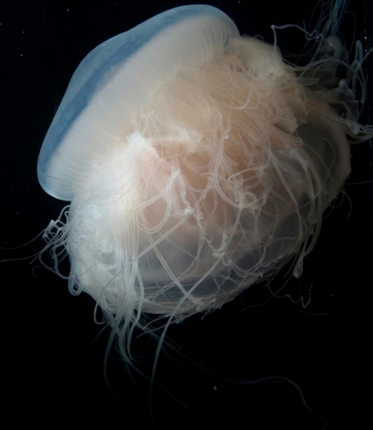 "A ""pink meanie"" jellyfish feeds on a moon jelly.<div class='credit'><strong>Credit:</strong> A ""pink meanie"" jellyfish feeds on a moon jelly.</div>"