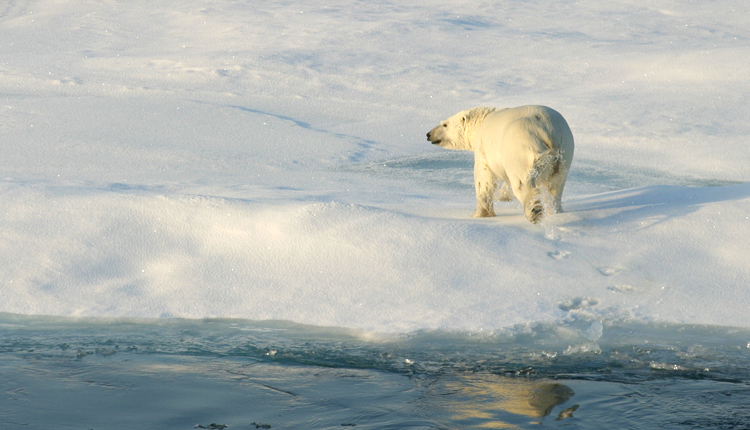 Polar bears have evolved to survive in the Arctic.<div class='credit'><strong>Credit:</strong> Polar bears have evolved to survive in the Arctic.</div>